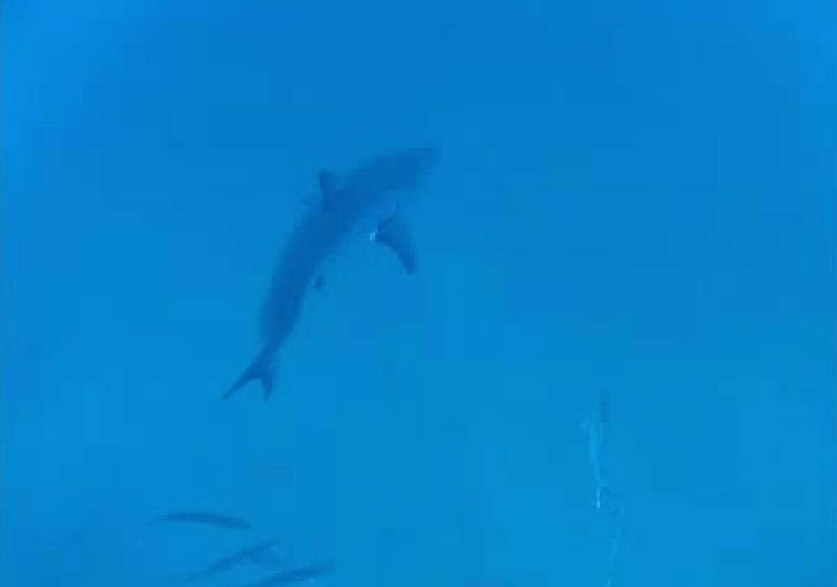 Taucher entdeckten den Großen Weißen, der während einer Reise 80 Meilen vor der Küste Floridas bedrohlich vorbeischwamm.