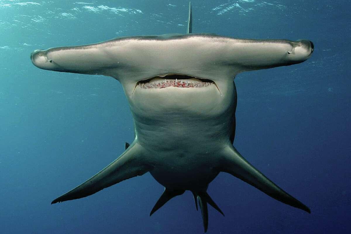 Species name: SphyrnaCommon name: Hammerhead sharkNon-fatal attacks: 17Fatal attacks: 0