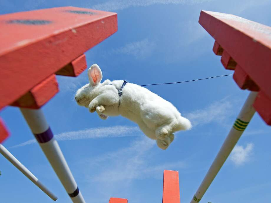 A rabbit jumps during the Kaninhop (rabbit-jumping) competition in Weissenbrunn vorm Wald, Germany, Sunday, Sept. 7, 2014. Competitors take part in three different categories, with an obstacle height ranging between 25 and 40 centimeters. (AP Photo/Jens Meyer) Photo: Jens Meyer, Associated Press
