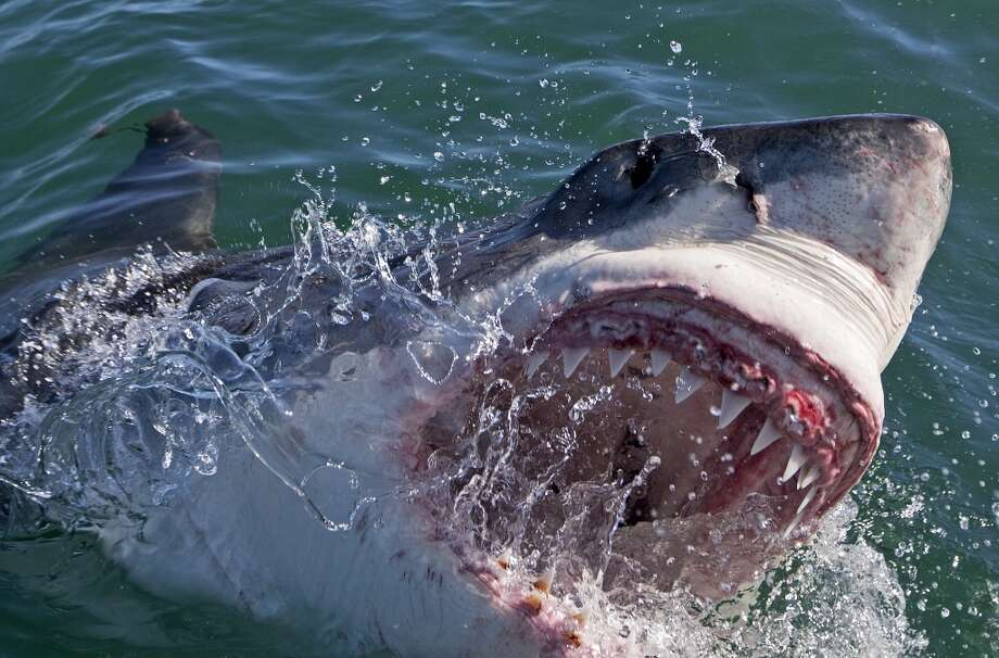 Shell prospects: Sharks: Great White, Maco, Tiger Photo: Discovery Channel