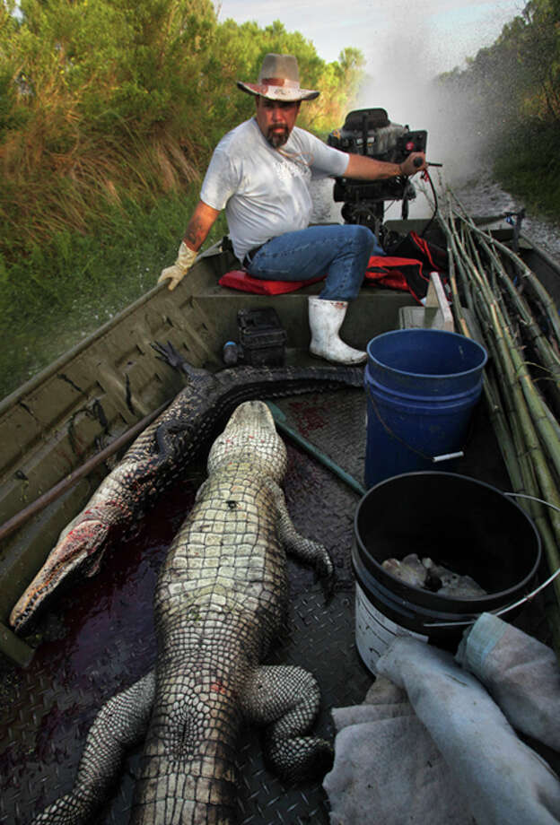 Gator hunter Lance Nacio is the third generation of his family to hunt the giant reptiles in Louisiana's swamps.  Nacio caught 24 alligators in one day at the start of the La. season in August. Photo: Gulf Seafood News