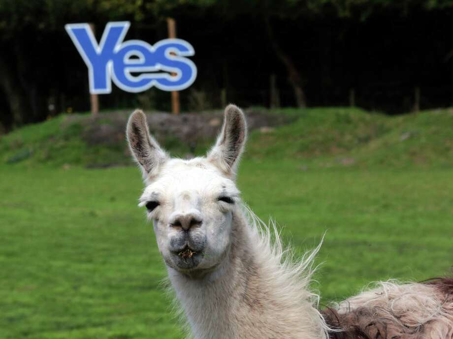 A Yes sign is displayed in a field with Llamas grazing in Jedburgh, Scotland, Monday, Sept. 8, 2014. The British government plans to offer Scotland more financial autonomy in the coming days as polls predict a very close vote in the September 18 referendum on Scottish independence. (AP Photo/Scott Heppell) Photo: Scott Heppell, STR / AP