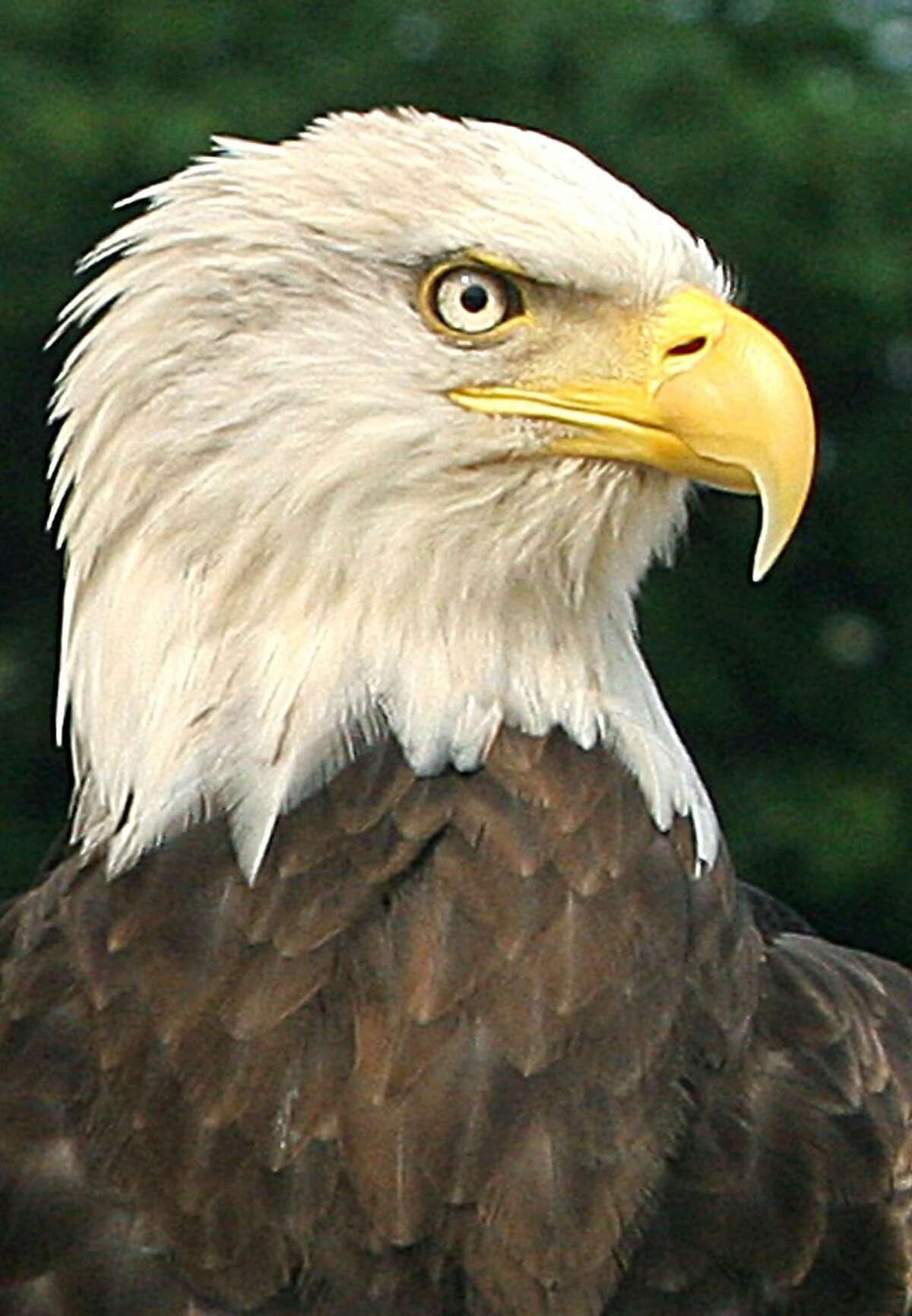 Golden and bald eagles (pictured), both prevalent in the Bay Area, could find it exceedingly difficult to find prey by 2080.