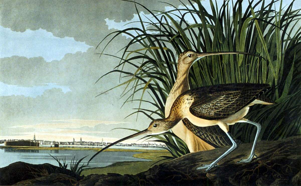 """""""Long Billed Curlew"""" Ran on: 10-17-2004 Long Billed Curlew (detail), above, and Painted Bunting. Audubon's challenge was how to render animals whose essence was movement, says biographer Richard Rhodes."""