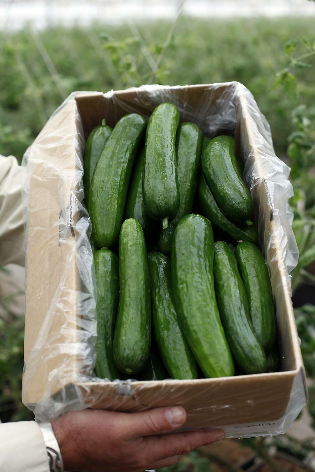 Persian and Japanese cucumbers grown at Viridis Aquaponics in Watsonville, Calif., on Friday, September 5, 2014.