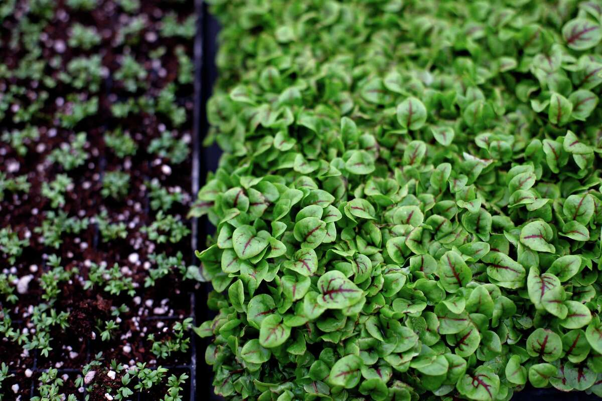 Red-veined lemon sorrel (right) and true watercress at Viridis Aquaponics in Watsonville.