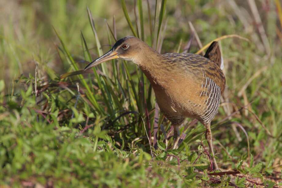"The King Rail can be found on the Katy Prairie. Check out Katy Prairie Conservancy's September Unplugged Adventure ""Rails in the Rice"" on Sept. 20. Photo: Photo By Greg Lavaty"