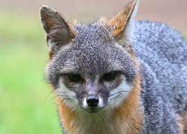 The eyes have it: This gray fox stared straight into the camera lens, but never saw Tom Stienstra and his camera in his hiding place
