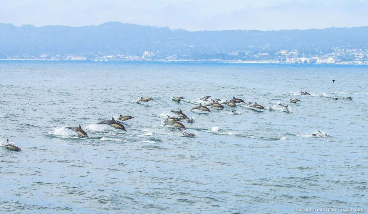 FILE - A huge school of dolphins in synchronized leaps in Monterey Bay.