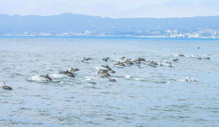 FILE - A huge school of dolphins in synchronized leaps in Monterey Bay. Photo: David Cruz, Monterey Bay Whale Watch