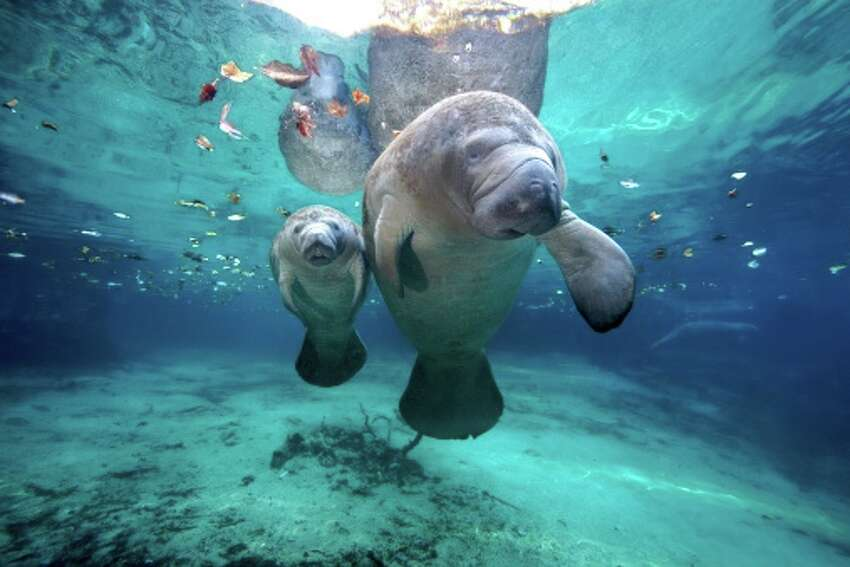 West Indian Manatees Slow moving gentle vegetarians West Indian Manatees are one of six endangered mammals species in the Gulf.