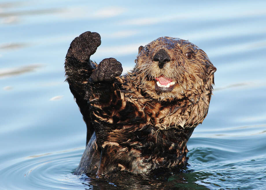 "September 20-26 is Sea Otter Awareness Week, or so they tell us. The purpose being to recognize the ""the vital role that sea otters play in the nearshore ecosystem.""Anyway, you don't have to tell us twice, here's a gallery of sea otters being adorable. Photo: Cameron Rutt, Getty Images / Flickr RF"