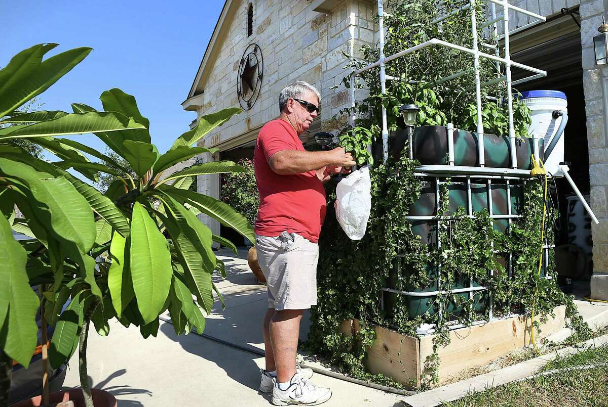 Leslie Adams clips fresh herbs from one of his aquaponic gardens. He also grows tomatoes, chiles, carrots, lettuce and cabbage.