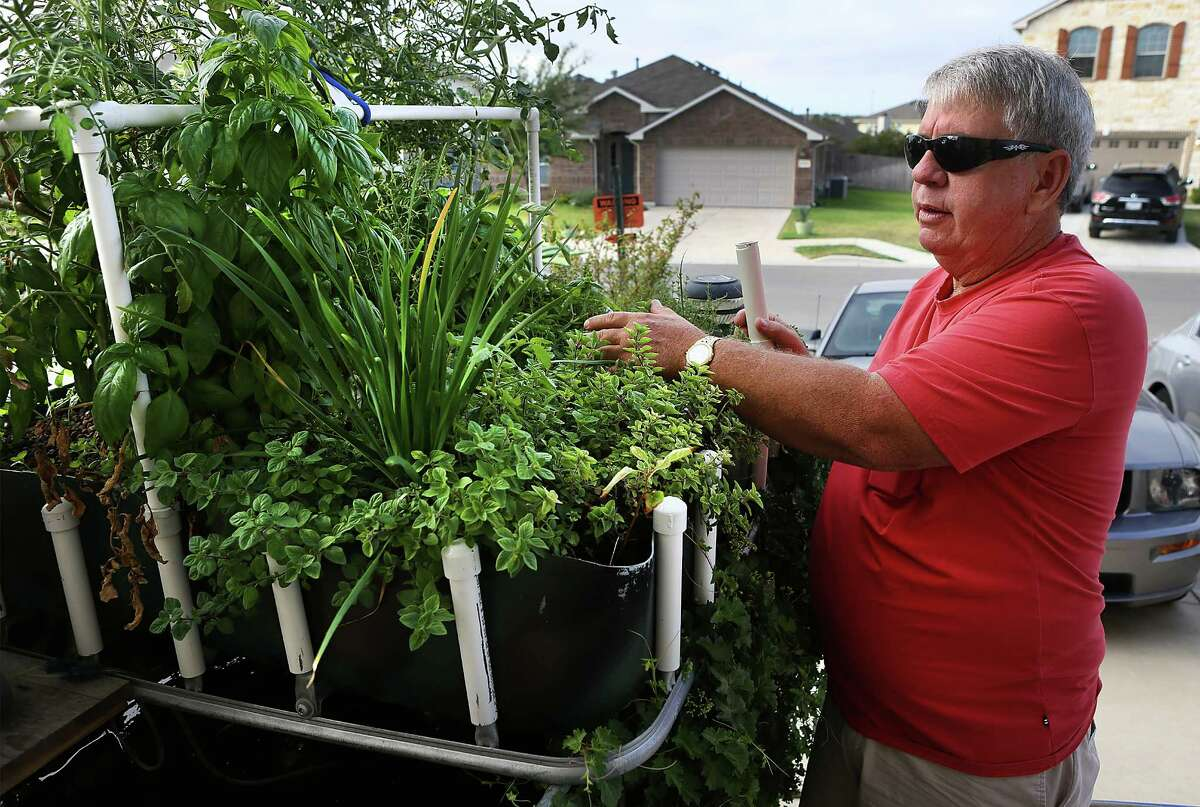 Leslie Adams tends to one of his aquaponic gardens at his home in New Braunfels. Catfish grow in a tanks below the top layer of plants. Monday September 8, 2014