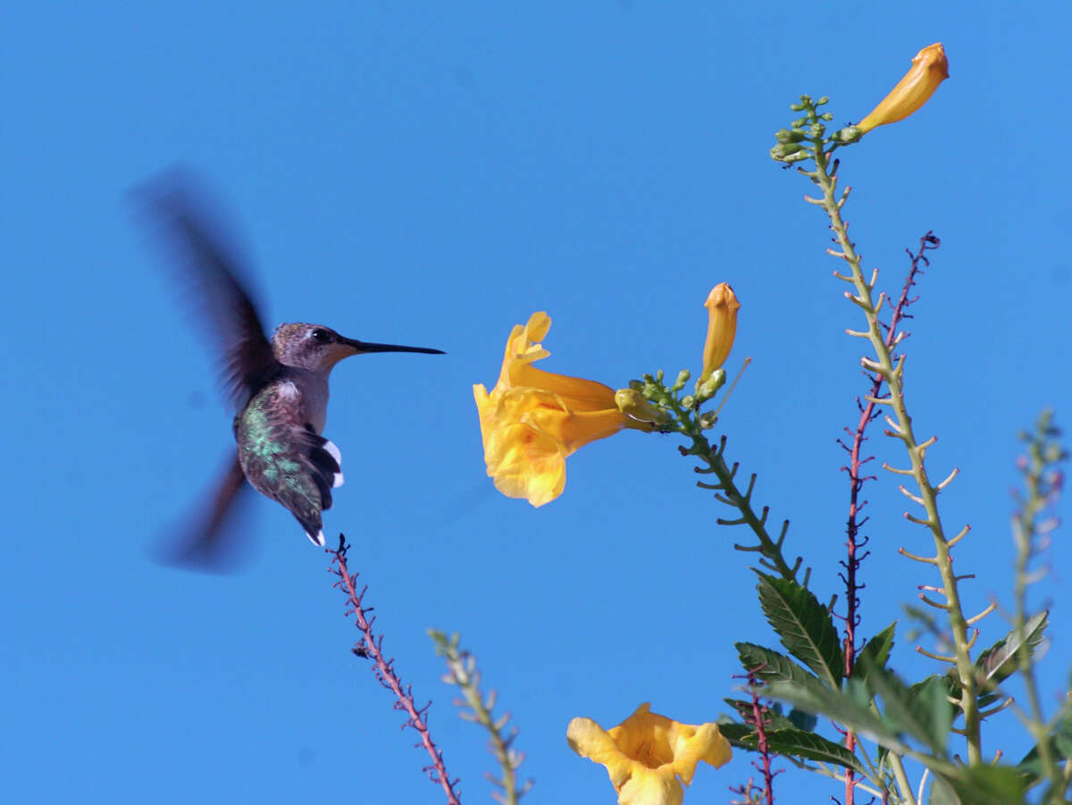A female hummingbird flapping it's wings 80 times per second approaches an esperanza flower on a tree near the San Antonio River Walk to feed on it's nectar.