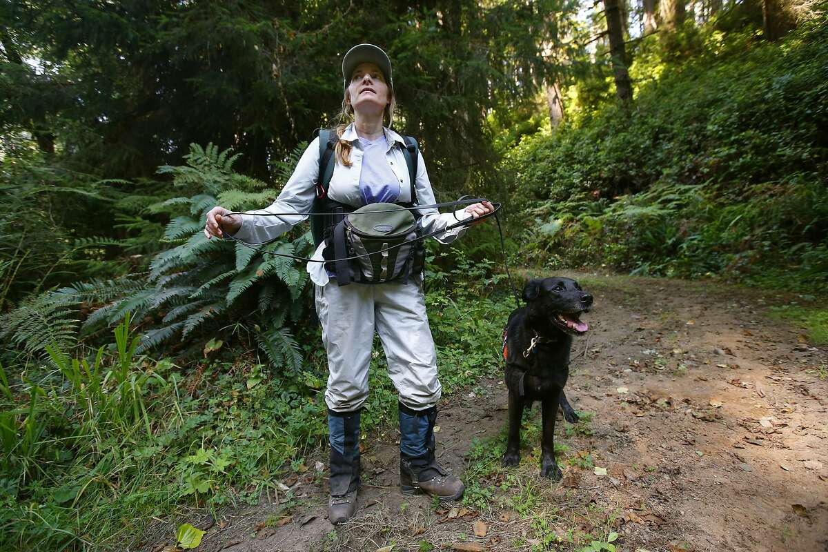 """Dog handler Debbie Woollett, with the Working Dogs for Conservation Foundation prepares to begin their search of the forest with """"Wicket"""" near Eureka, Calif., on Thursday Sept. 11, 2014. Local researchers are using sniffer dogs to search for the elusive white-footed vole in coast redwoods. The white-footed vole, which is endemic to Pacific coastal forests, is one of the rarest and least understood mammals in North America."""