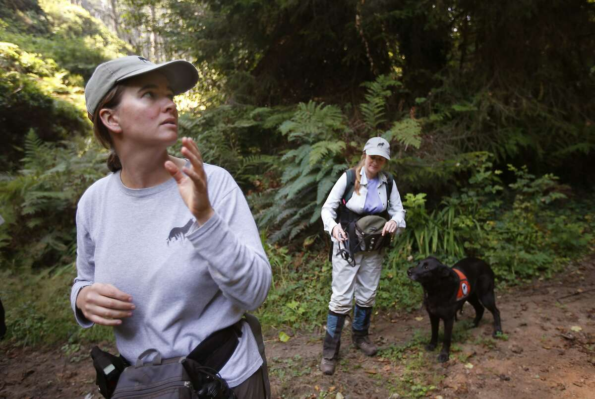 """Dog handlers Aimee Hurt, (left) and Debbie Woollett, with the Working Dogs for Conservation Foundation begin their search of the forest with """"Wicket"""" near Eureka, Calif., on Thursday Sept. 11, 2014. Local researchers are using sniffer dogs to search for the elusive white-footed vole in coast redwoods. The white-footed vole, which is endemic to Pacific coastal forests, is one of the rarest and least understood mammals in North America."""