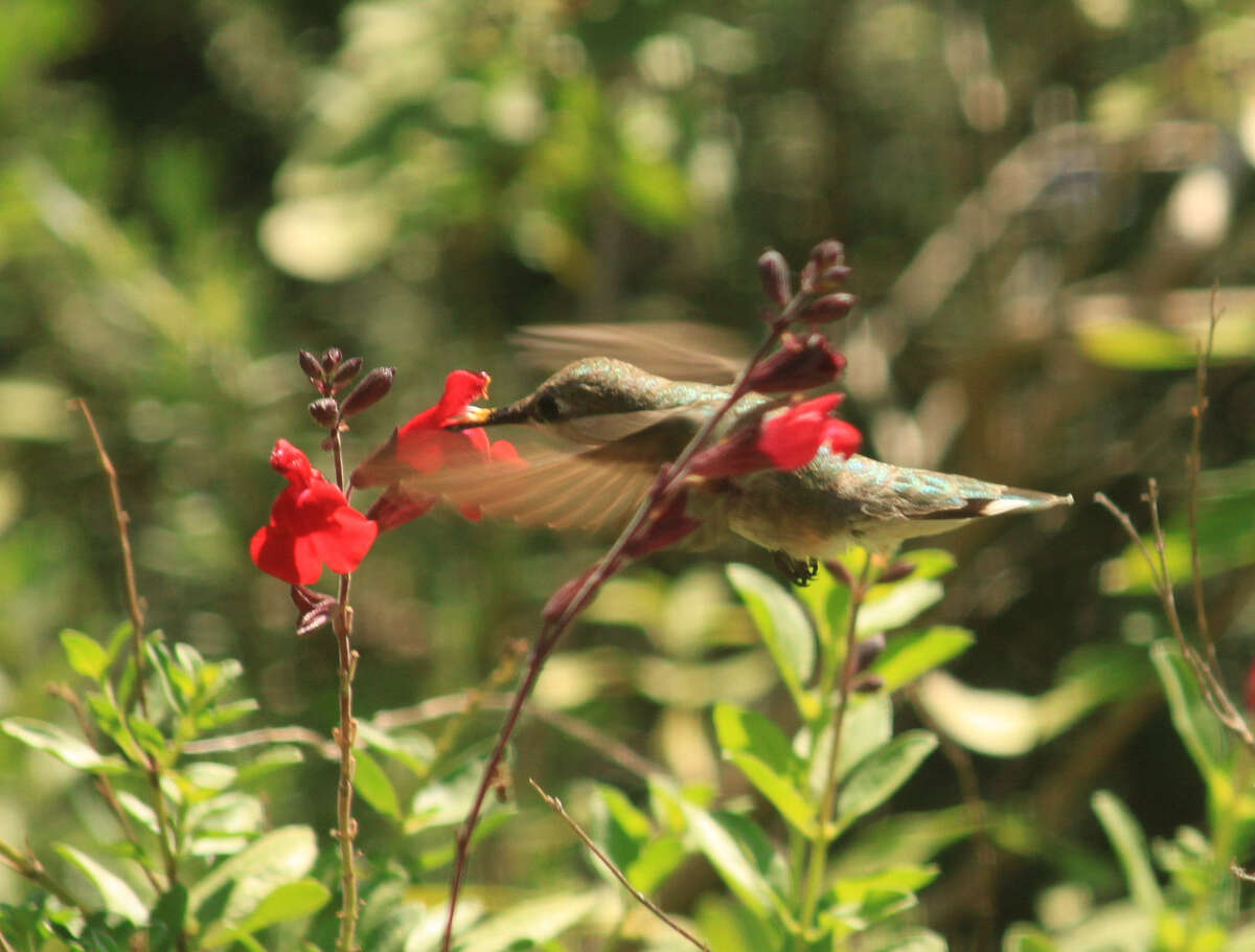 Autumn sage, or Salvia greggii, is among the native plants that provide nectar for hummingbirds.