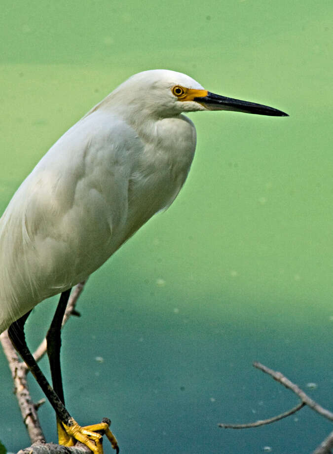 A snowy egret rests on a dead limb near the shore of Mitchell Lake. Photo: Express-News File Photos