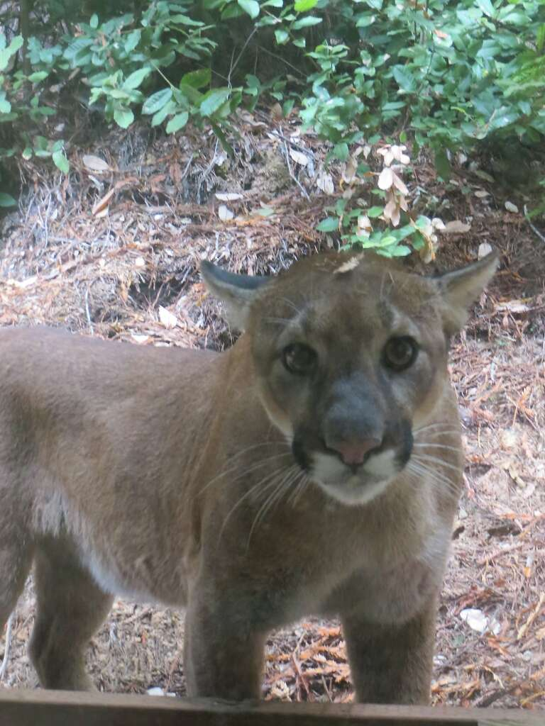 study finds mountain lions are feasting on house pets sfgate
