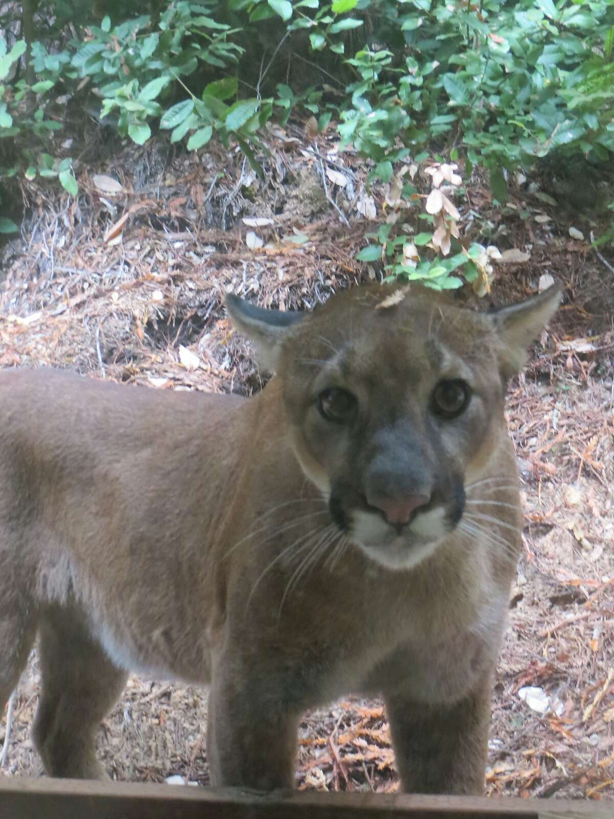 While at a desk at her home in Gualala in Mendocino County, Cece Case heard a noise, turned and found this mountain lion staring at her through the window. Cece believes the lion may have hunting her house cats. File photo taken on Sept. 12, 2014.