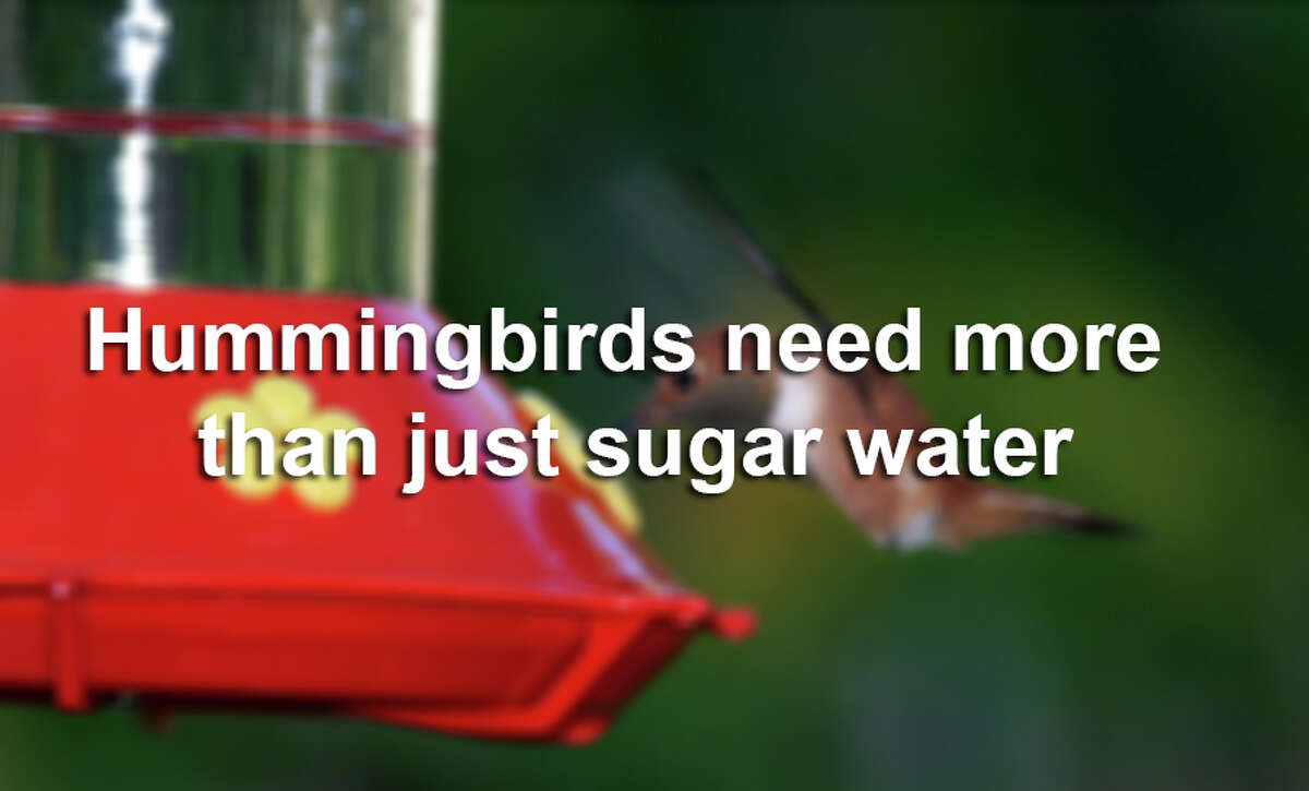 Hummingbirds like sugar water, but they need more.