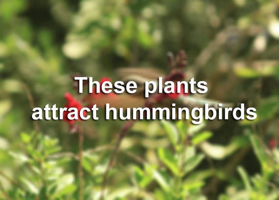 Nectar from native plants nourishes little birds, fuels their flight Photo: Kathleen Scott, Express-News File Photo / San Antonio Express-News