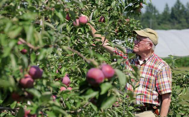 Peter Ten Eyck, owner of Indian Ladder Farms, checks an apple as he walks through his apple orchard at Indian Ladder Farms on Friday, Sept. 5, 2014 in Altamont, N.Y. GMO trial testing is being proposed in the United States to grow slow-browning apples. (Lori Van Buren / Times Union) Photo: Lori Van Buren / 00028459A