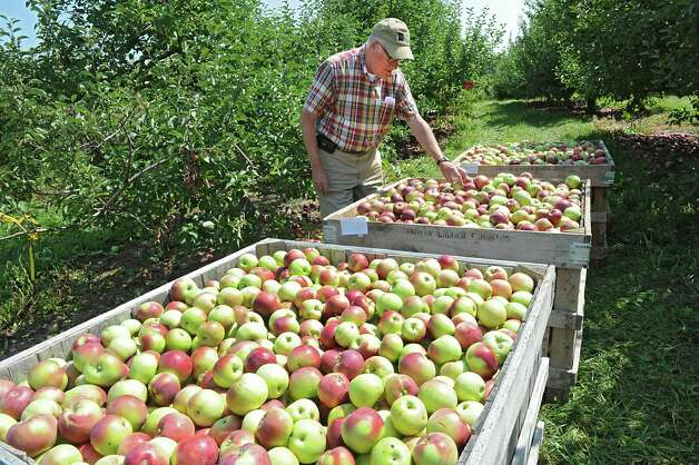 Peter Ten Eyck, owner of Indian Ladder Farms, checks some freshly picked apples in his apple orchard at Indian Ladder Farms on Friday, Sept. 5, 2014 in Altamont, N.Y. GMO trial testing is being proposed in the United States to grow slow-browning apples. (Lori Van Buren / Times Union) Photo: Lori Van Buren / 00028459A