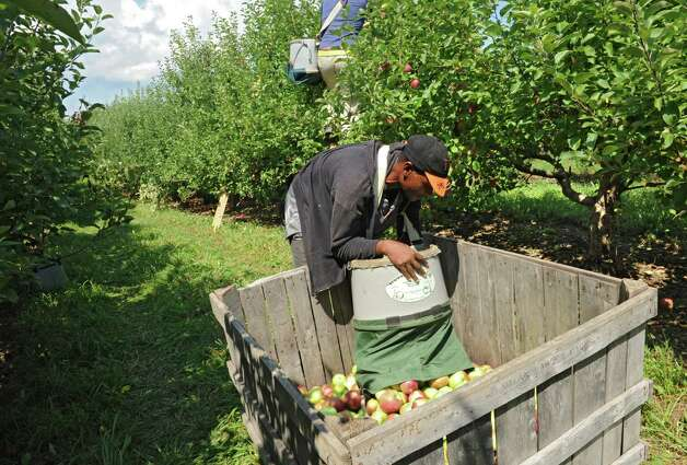 Workers pick apples in an apple orchard at Indian Ladder Farms on Friday, Sept. 5, 2014 in Altamont, N.Y. GMO trial testing is being proposed in the United States to grow slow-browning apples. (Lori Van Buren / Times Union) Photo: Lori Van Buren / 00028459A