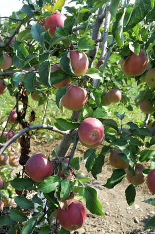 Apples are seen ripening on a tree in an apple orchard at Indian Ladder Farms Friday, Sept. 5, 2014 in Altamont, N.Y. GMO trial testing is being proposed in the United States to grow slow-browning apples.(Lori Van Buren / Times Union) Photo: Lori Van Buren / 00028459A