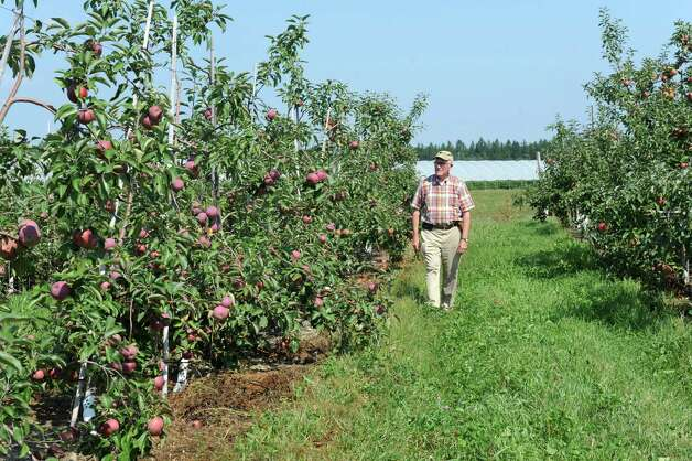 Peter Ten Eyck, owner of Indian Ladder Farms, walks through his apple orchard at Indian Ladder Farms Friday, Sept. 5, 2014 in Altamont, N.Y. GMO trial testing is being proposed in the United States to grow slow-browning apples.(Lori Van Buren / Times Union) Photo: Lori Van Buren / 00028459A
