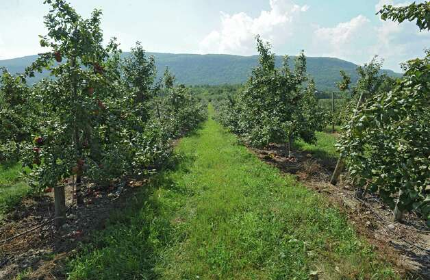 View of an apple orchard at Indian Ladder Farms Friday, Sept. 5, 2014 in Altamont, N.Y. GMO trial testing is being proposed in the United States to grow slow-browning apples.(Lori Van Buren / Times Union) Photo: Lori Van Buren / 00028459A