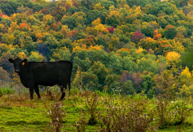 A steer in a field along Route 7 amidst the colored foliage in the Town of Hoosick Falls , New York Monday, Oct. 11, 2004.  (Michael P. Farrell/Times Union archive) Photo: Staff Photographer / DG