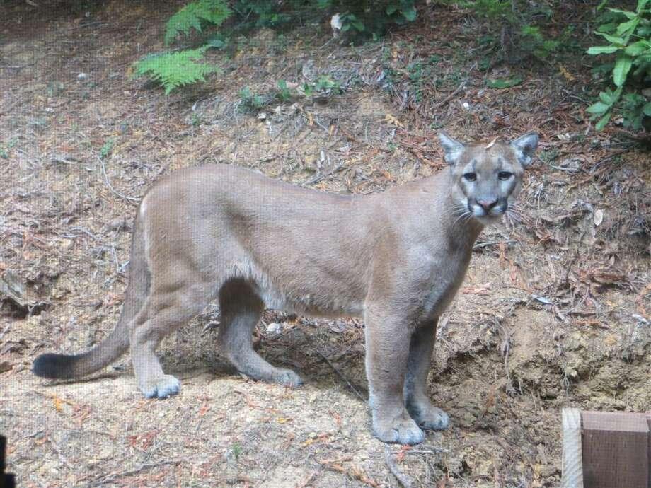 File photo - police were unable to confirm a reported mountain lion sighting in El Cerrito. Photo: Cece Case