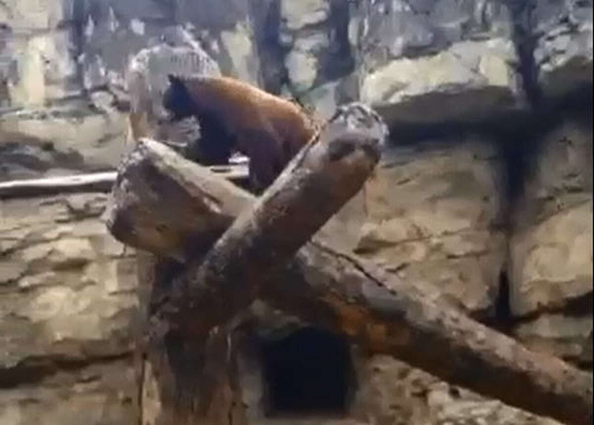 The Houston Zoo's hijinks-prone bear cubs Willow and Belle are at it again. Here, the two engage in play session which leads to one of them trying some death-defying stunt-work across a log bridge. Over-excited (and a little clumsy), the bear missteps and almost goes plunging to the ground below before making a quick save.   photo by Jenny Dial Creech