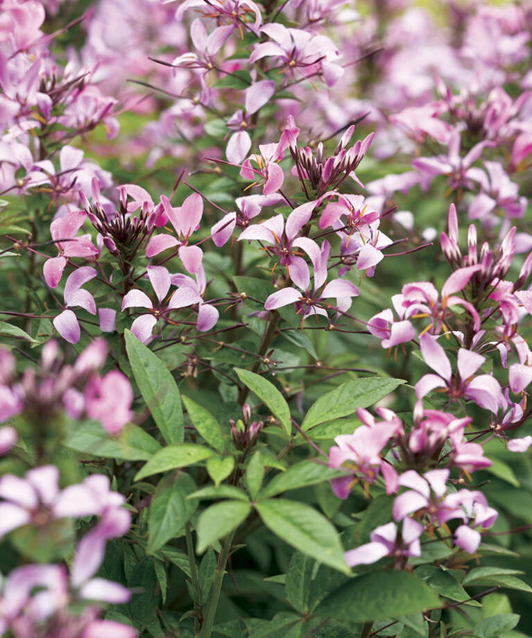 """Seniorita Rosalita cleome. """"This is No. 1 at Memorial Park Golf Course,"""" she said. """"There are no thorns and no seeds. But it does not like to be cut back.""""Proven Winners photo Photo: Chris Brown Photography / handout email / Kathy Huber"""