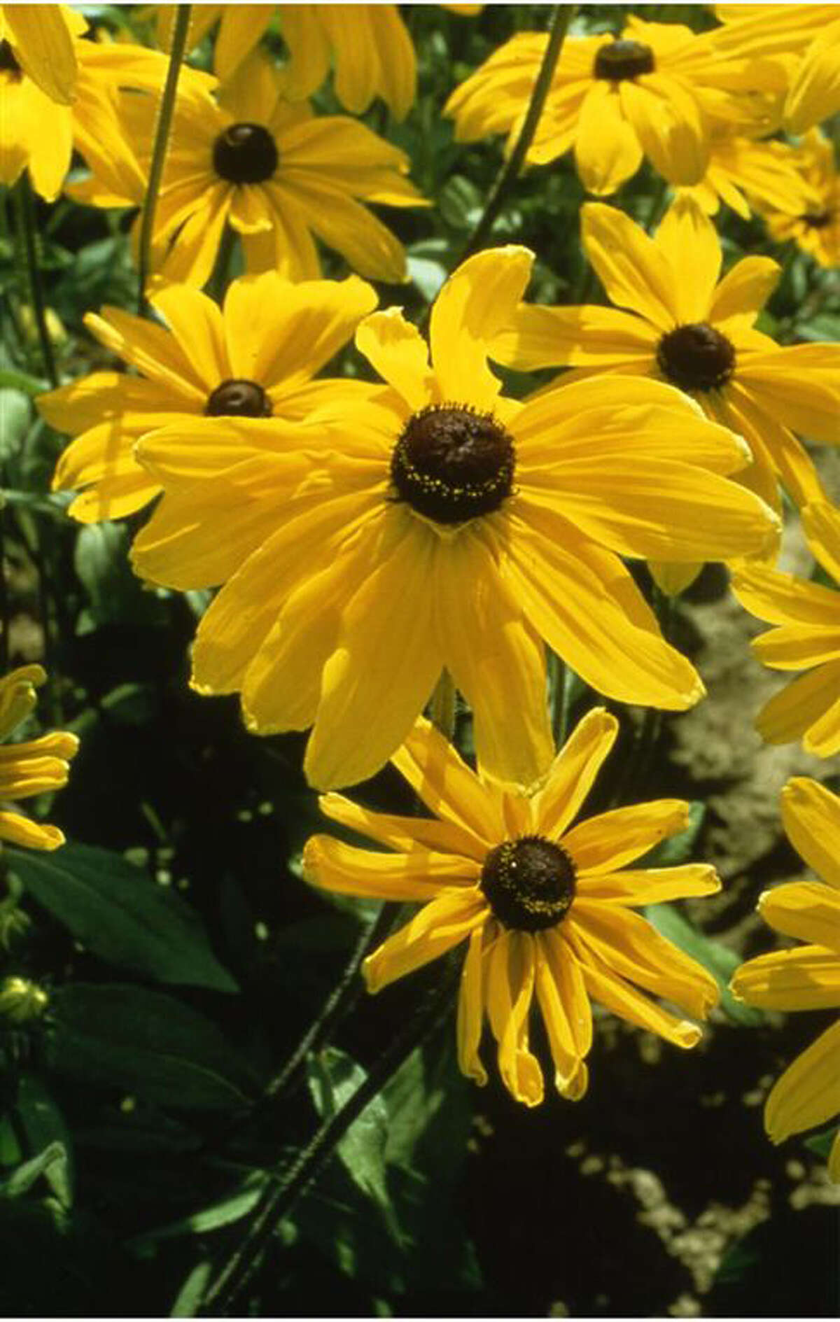 'Indian Summer' rudbeckia. The extra-large flowers are long-lasting in the garden and a vase. National Garden Bureau photo