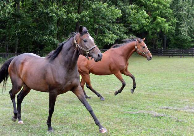 Retired thoroughbred race horses Luvacat, left, and Flying Heat prance about in one of the paddocks at Peter and Suzann Bobley's stable for retired thoroughbred race horses, 18 Karat Farm, Thursday Sept. 11, 2014, in Schuylerville, NY.  (John Carl D'Annibale / Times Union) Photo: John Carl D'Annibale / 00028571A