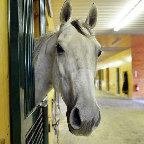 Having won over $1 million in purses, retired thoroughbred race horse Silver Timber in the stables at Peter and Suzann Bobley's stable for retired thoroughbred race horses, 18 Karat Farm, Thursday Sept. 11, 2014, in Schuylerville, NY.  (John Carl D'Annibale / Times Union) Photo: John Carl D'Annibale / 00028571A