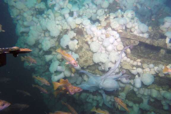 Port bow and stem of the shipwrecked tug recently located off Southeast Farallon Island, in the Gulf of the Farallones National Marine Sanctuary. Octopus, Canary rockfish and sea anemones inhabit the shipwreck.