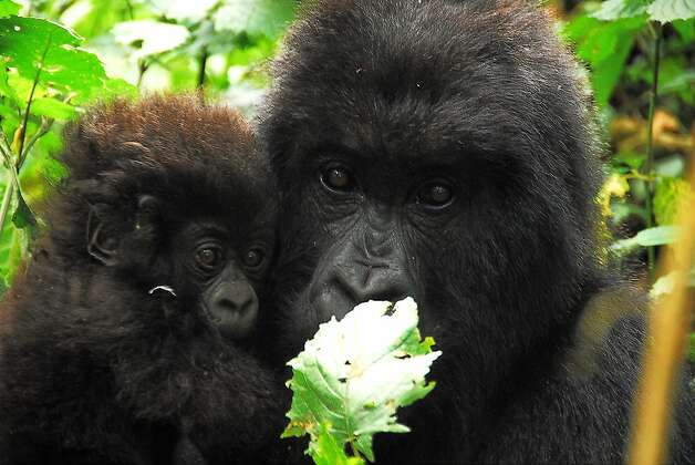'Virunga' - Determined to protect the last population of Africa's mountain gorillas, Congolese wildlife officials must contend not only with outlaw poachers but the effects of fierce combat between government forces and die-hard insurgent groups. Available Nov. 7 Photo:  L. Craig Smith, Abercrombie & Kent