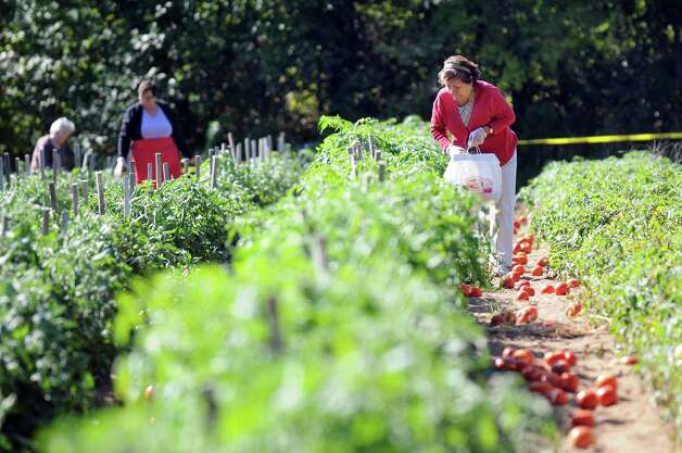 Petra Carbonaro of Troy, right, picks ripe tomatoes on Wednesday, Sept. 17, 2014, at Hillard's Greenhouse in Latham, N.Y. (Cindy Schultz / Times Union) Photo: Cindy Schultz / 10028651A