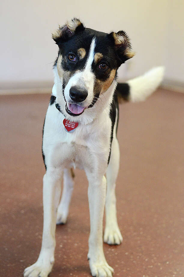 Bandi, a hound mix rescued in Saudi Arabia, will be up for adoption in Marin.(Photo: Marin Humane Society)