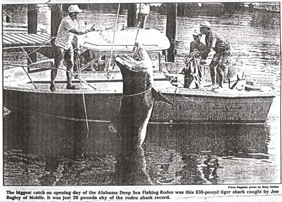 In 1990 the biggest opening day catch was a giant 830 pound tiger shark. Photo: Mobile Press Register