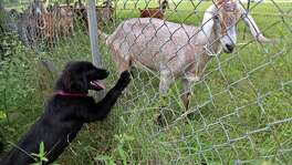 Foster dog Piper gets to know the goats at the Segers' farm. Piper is one of nearly 40 dogs to be adopted; she now lives in Austin.