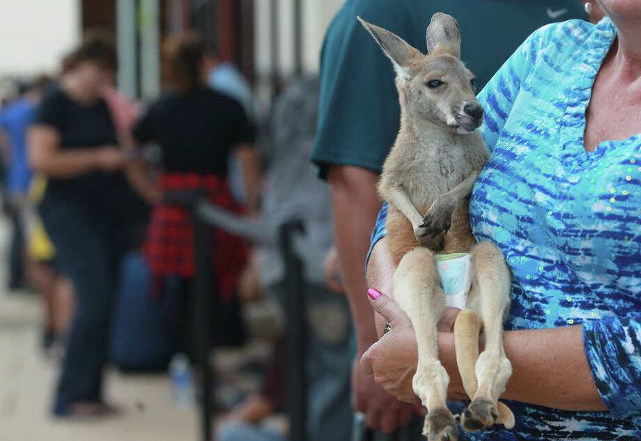 """Roocille"" the kangaroo stands in line Friday September 19, 2014 with her owner Susie Patterson at the Shops at La Cantera while waiting to buy an iPhone 6. Patterson said she owns an exotic animal ranch in Utopia and acquired the kangaroo when she was diagnosed with cancer. The kangaroo is currently nursed every four hours. Photo: JOHN DAVENPORT, John Davenport / ©San Antonio Express-News/John Davenport"