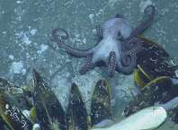 The giant mussels dwarfed this octopus. The methane gas which seeps out of the volcano means huge communities of bacteria can grow, ideal food for the mussels to grow BIG.