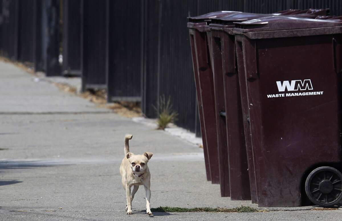 A stray chihuahua roams through a neighborhood unattended in Oakland, Calif. on Friday, Sept. 19, 2014. A growing population of stray chihuahuas are roaming throughout the city.