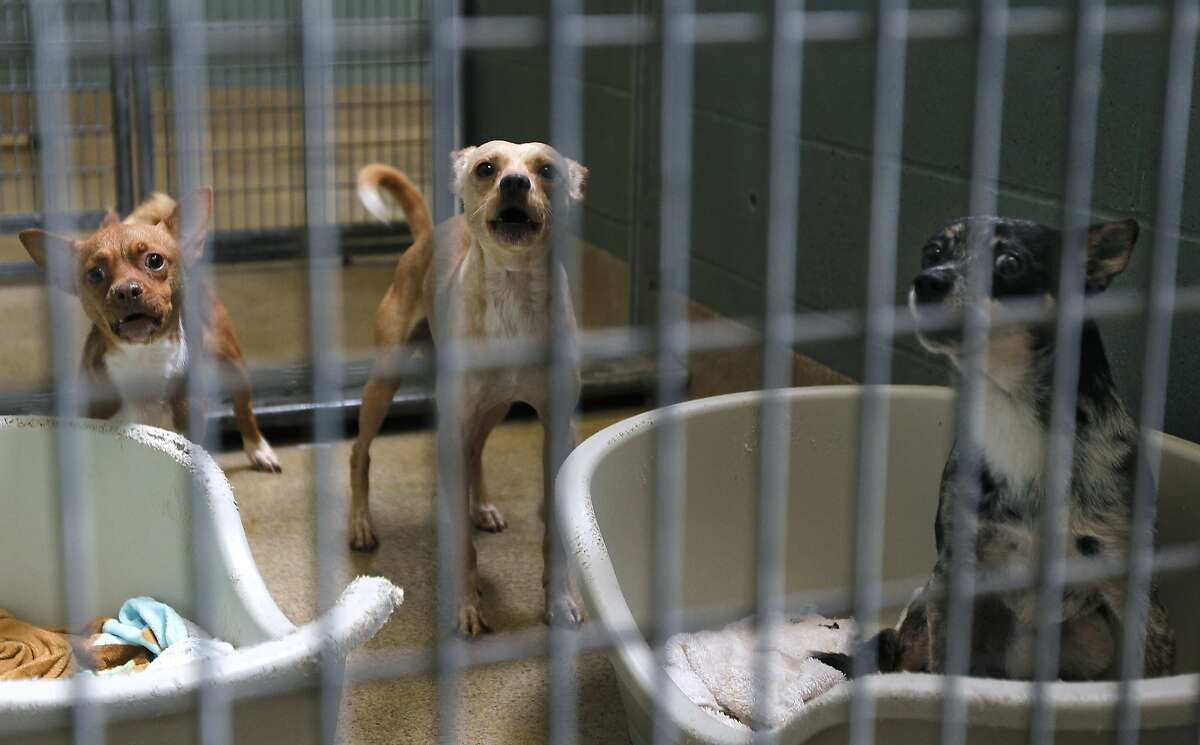 Stray chihuahuas are housed at the Oakland Animal Shelter in Oakland, Calif. on Friday, Sept. 19, 2014. A growing population of stray chihuahuas are roaming throughout the city.